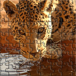 Close-up of a leopard drinking water, Namibia, Africa.