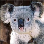 An Australian Koala Bear.